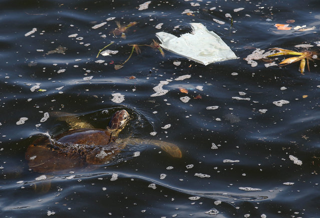 A turtle swims amid plastic at the Guanabara Bay, in Rio de Janeiro, Brazil, 16 April 2019. The Guanabara Bay, with an area of 400 square kilometers is currently suffering from contamination by domestic and industrial wastewater, and the lack of commitment from authorities, who for years have promised to clean their waters without visible results so far. (Photo by Marcelo Sayão/EPA/EFE)