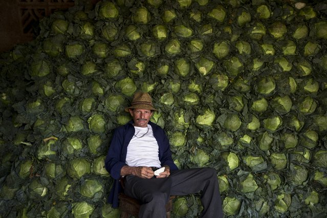 Alejo Lopez, 62, sits against the cabbage he sells at the Oriental market in Managua, Nicaragua, Friday, May 1, 2015. Today is International Workers Day around the world, also known as May Day. (Photo by Esteban Felix/AP Photo)