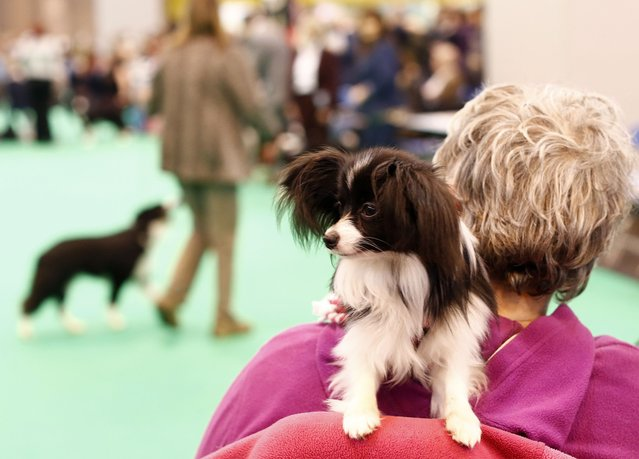 A dog sits on its owners shoulder as she watches judging during the first day of the Crufts dog show in Birmingham, central England March 6, 2014. (Photo by Darren Staples/Reuters)