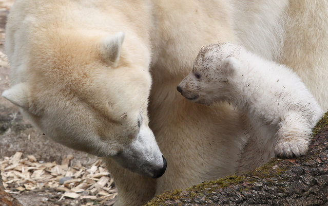 One of the 14 week-old twin polar bear babies is pictured with her mother Giovanna during their first presentation to the media in Hellabrunn zoo on March 19, 2014 in Munich, Germany. (Photo by Alexandra Beier/Getty Images)