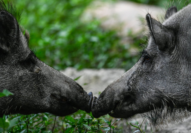 Two Wild pigs are seen in theirs corral at the Moritzburg Wildpark near Moritzburg, Germany, 21 June 2019. (Photo by Filip Singer/EPA/EFE)
