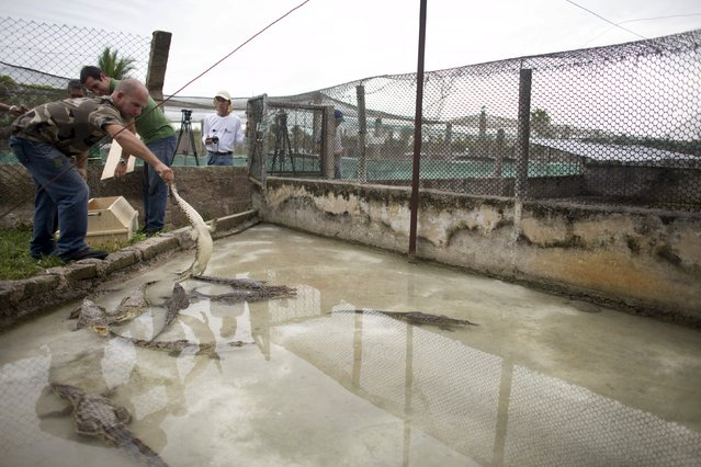Veterinarian Gustavo Sosa (L) puts a baby Cuban crocodile (Crocodylus rhombifer), which just arrived from Havana National Zoo, into an enclosure at Zapata Swamp National Park, June 4, 2015. Ten baby crocodiles have been delivered to a Cuban hatchery in hopes of strengthening the species and extending the bloodlines of a pair of Cuban crocodiles that former President Fidel Castro had given to a Soviet cosmonaut as a gift in the 1970s. Picture taken June 4, 2015. REUTERS/Alexandre Meneghini