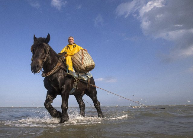 Bernard Debryune, a Belgian shrimp fisherman for the last 36 years, rides a horse to haul a net out in the sea to catch shrimps during low tide at the coastal town of Oostduinkerke, Belgium July 3, 2015. (Photo by Yves Herman/Reuters)