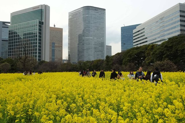 Visitors walk among rape blossoms in full bloom at Hama-rikyu Gardens in Tokyo on March 18, 2017. (Photo by Kazuhiro Nogi/AFP Photo)
