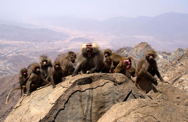 Desert monkeys gather along the Al-Hada road that leads to the city of Taif, on the slopes of the Sarawat Mountains near the Muslim holy city of Mecca, Saudi Arabia, Wednesday, April 12, 2017. (Photo by Amr Nabil/AP Photo)