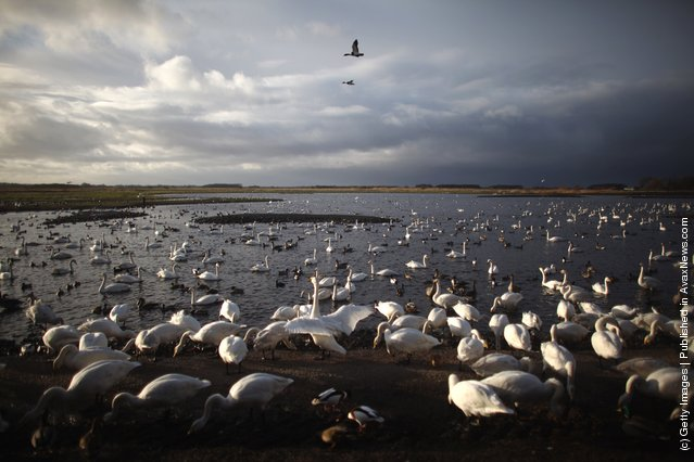 Whooper swans gather at Martin Mere Wetlands Centre