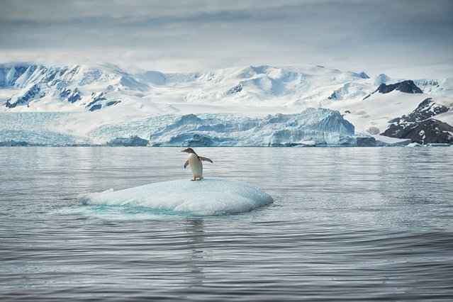 """Solo Surfer"". Gentoo Penguin surfing an iceberg in Cierva Cove, Antarctic Peninsula. Cierva Cove lies on the south side of Cape Herschel, within Hughes Bay. It is named after Juan de la Cierva, the inventor of the autogiro (the precursor to the helicopter, first flown in 1923). (Photo and caption by Mark Connell/National Geographic Photo Contest)"