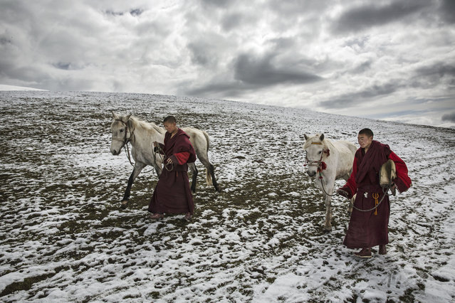 Tibetan monks walk in fresh snow with their horses on the 15th day of Saka Dawa, the holiest day of the Buddhist calendar when it is prohibited to harvest cordycep fungus on May 21, 2016 near Sershul on the Tibetan Plateau in the Garze Tibetan Autonomous Prefecture of Sichuan province. (Photo by Kevin Frayer/Getty Images)