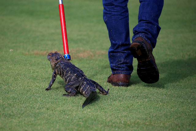 An alligator is walked back to a truck after it was caught in a golf course by a trapper to relocate it to a more natural environment in Orlando, Florida, U.S., June 19, 2016. (Photo by Carlo Allegri/Reuters)