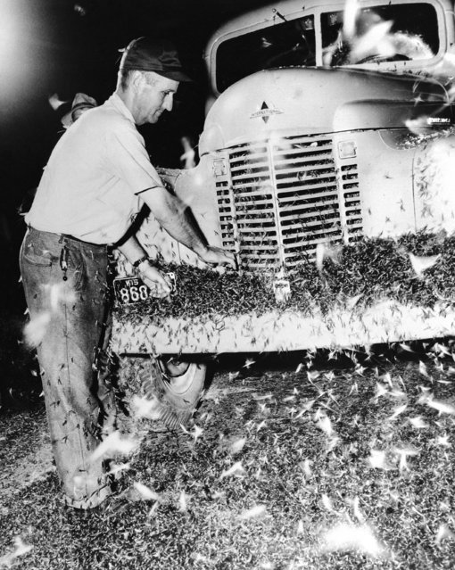 Lawrence Rutz stops his truck on the West Channel Bridge at LaCrosse, Wisconsin, July 8, 1946, to clear May flies from the front of his vehicle. Mayflies became so thick, they obstructed motorist's view, clogged radiators, and made roadway of bridge slippery. (Photo by AP Photo)