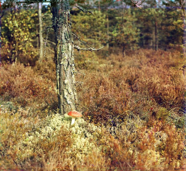Photos by Sergey Prokudin-Gorsky. Fly agaric ('Among the moss'). Russian Empire, Grand Duchy of Finland, Place unknown. Between 1903 and 1904