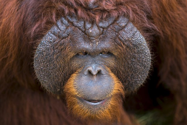 An orangutan looks on from inside its enclosure at Kao Pratubchang Conservation Centre in Ratchaburi, Thailand, August 27, 2015. Thai veterinarians from the Department of National Park Wildlife, and Plant Conservation conducted a health check of 14 orangutans for preparation for the repatriation to their country of origin, Indonesia. Most of Sumatran and Borneo Kalimantan orangutans, were confiscated from entertainment businesses in Phuket province since 2008. (Photo by Athit Perawongmetha/Reuters)
