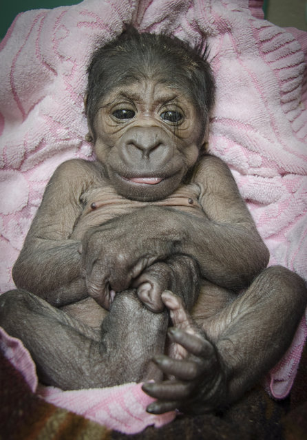 In this photo provided by the Oklahoma City Zoo, a female Western lowland baby gorilla who was born in the early hours of Saturday, August 16, 2014, inside a Great EscApe day room to mother Ndjole (pronounced In-jolee) and father Togo (pronounced Toe-go), is pictured at the zoo August 17, 2014, in Oklahoma City. (Photo by Dr. Jennifer D'Agostino/AP Photo/Oklahoma City Zoo)
