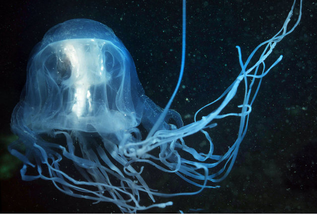 Box jellyfish. (Photo by Valerie Taylor/Caters News)