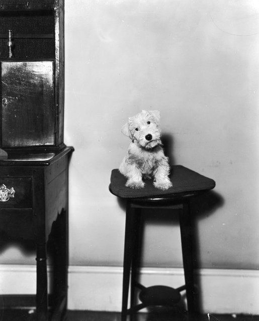 A forlorn looking Cairn terrier perched on a stool, 1933. He was the subject of animal artist Cecil Alden at the time of this photograph. (Photo by Sasha)