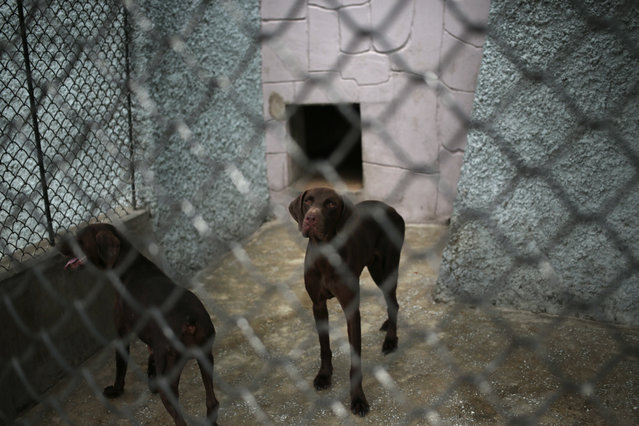 Dogs look out from inside a pen at the newly opened Pyongyang Central Zoo in Pyongyang, North Korea, Tuesday, August 23, 2016. (Photo by Dita Alangkara/AP Photo)