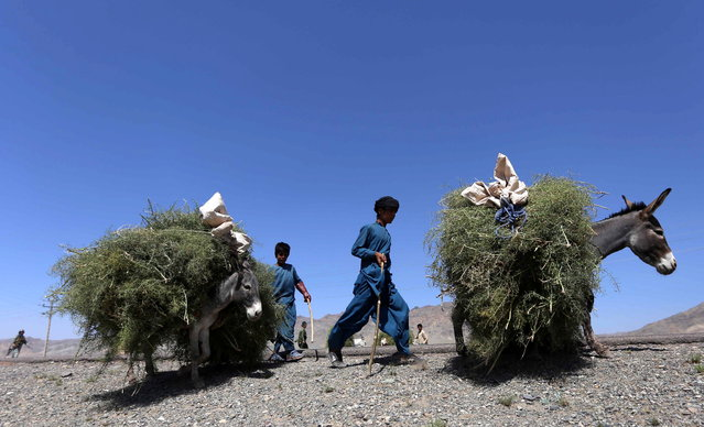 Afghan boys transport plants with donkeys, in Herat, Afghanistan, 14 September 2015. Afghanistan's economy has improved significantly after suffering from decades of fighting. The economy was boosted by the infusion of international aid and the recovery of the agricultural sector. (Photo by Jalil Rezayee/EPA)