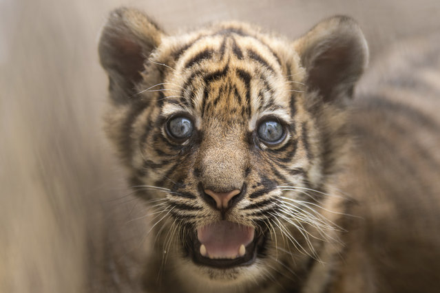 In this undated handout photo provided by the Wroclaw zoo, a little tiger is pictured at the zoo in Wroclaw, Poland on July 23, 2020. The 2-month-old Sumatran tiger cub is getting to know the world and learning to hunt from her mother at a zoo in southwestern Poland, the first such cub born there in 20 years. The as-yet-unnamed cub was born May 23 as her mother Nuri's first offspring and the authorities at the Wroclaw Zoo are overjoyed that the mother is taking very good care of her. (Photo by Wroclaw Zoo via AP Photo)