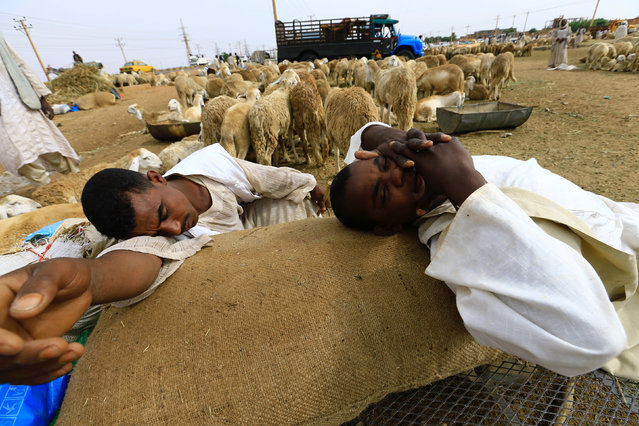 Shepherds rest near sheep during preparations ahead of the Eid al-Adha festival in Khartoum September 11, 2016. (Photo by Mohamed Nureldin Abdallah/Reuters)