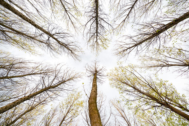 """""""Ways in the sky. Branches aligned in a forest of poplars"""". (Photo and comment by Jose Ramon Moreno, Spain/2013 Sony World Photography Awards"""