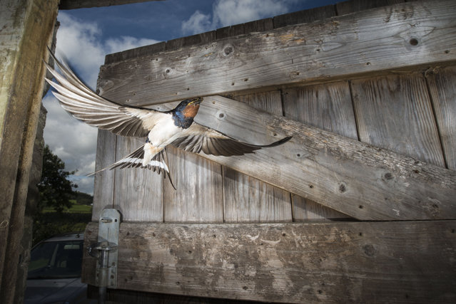 An adult barn swallow flies into a stable to feed its young in Corwen, UK on September 14, 2016. (Photo by Richard Bowler/Shutterstock)