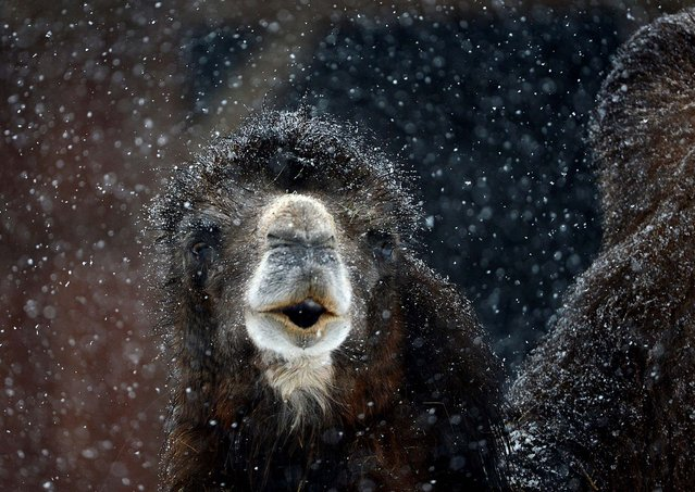 A camel braves the heavy snowfall at the Zoo in Frankfurt, Germany, on February 19, 2013. (Photo by Arne Dedert/DPA)