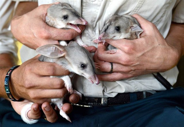 One month-old male triplet bilby joeys make their first appearance at Dreamworld on the Gold Coast, Queensland, on March 6, 2013. The Bilby, a nocturnal marsupial, is listed as endangered in Queensland and a vulnerable nationally. (Photo by Dan Peled/EPA)