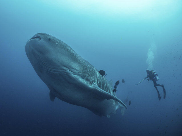 In this 2017 photo provided by Simon Pierce, Alexandra Watts takes a tissue sample from a whale shark in the Galapagos Islands area of Ecuador.  Despite typically being bigger than a double-decker bus, the elusive whale shark has only tiny, almost useless teeth. It's also one of the least understood animals in the ocean. (Photo by Simonjpierce.com via AP Photo)