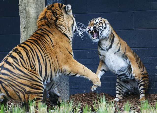 Melati (R), a four year old Sumatran Tiger and Jae Jae, her five year old male companion, face off in their new 2,500 square meter enclosure at London Zoo March 22, 2013. The zoo hopes that Melati and Jae Jae, will breed in captivity. (Photo by Andrew Winning/Reuters)