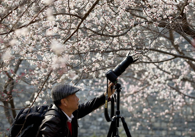 A Chinese man takes pictures of blooming plum blossoms at a public park in Beijing Sunday, April 7, 2013. (Photo by Andy Wong/AP Photo)