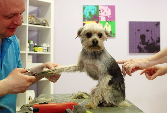 """Alexander Hysek trims Yorkshire Terrier """"Puppi"""" on a social day in his dog grooming salon """"The dog care company"""" in Vienna April 17, 2013. Hysek offered this day to treat dogs for free in cooperation with Vienna's """"neunerhaus"""", a charity organisation helping homeless people improving their situation. (Photo by Heinz-Peter Bader/Reuters)"""