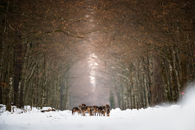 Zoom Out on Nature, finalist. Wolf Pack by Mateusz Piesiak, taken in Bialowieza national park, Poland. (Photo by Mateusz Piesiak/REDISCOVER Nature/EEA)