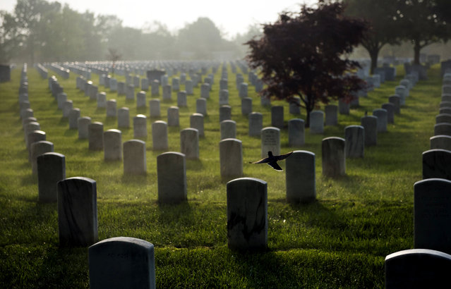 A bird takes flight as the sun rises over Arlington National Cemetery in section 60 on Thursday, May 22, 2014 in Arlington, VA. Hundreds of Iraq and Afghanistan war dead are buried in the section. (Photo by Amanda Voisard/For the Washington Post)