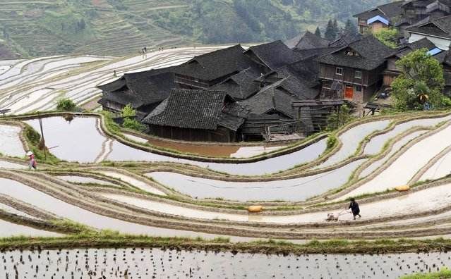A farmer ploughs terraced crop fields in Congjiang county, Guizhou province in this April 8, 2015 file photo. (Photo by Reuters/China Daily)