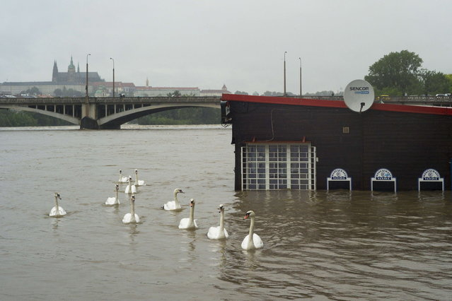 Swans pass by a flooded restaurant in the Vltava river on June 03, 2013 in Prague. The Czech capital was flooded, with metro stations and elementary and secondary schools shut after the Vltava river rose, flooding parts of the historic city centre due to heavy rainfalls. (Photo by Michal Cizek/AFP Photo)