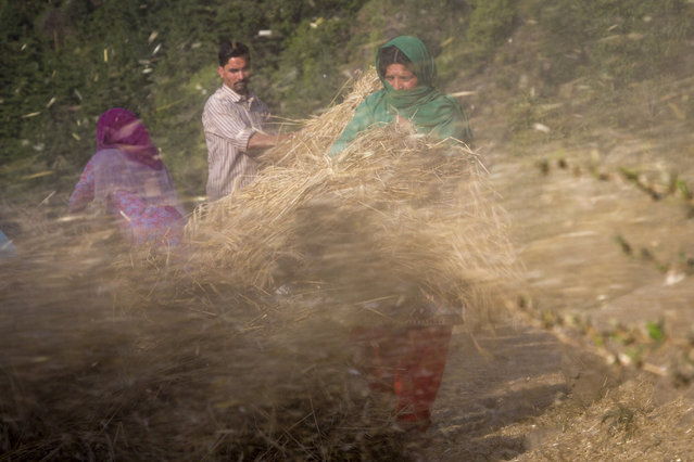 Chaff flies out as farmers feed sheaves of barley into a thresher in Dharmsala, India, Tuesday, May 22, 2018. Locals use the chaff for cattle and make flour from the grain which is used in ceremonies. (Photo by Ashwini Bhatia/AP Photo)