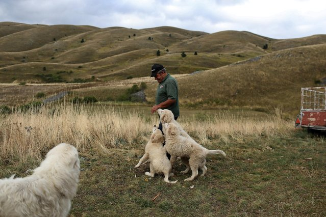 Domenico Ciccone greets his dogs as he arrives where some of his sheep spent the night near the town of Rocca Calascio, close to Santo Stefano di Sessanio in the province of L'Aquila in Abruzzo, inside the national park of the Gran Sasso e Monti della Laga, Italy, September 8, 2016. (Photo by Siegfried Modola/Reuters)