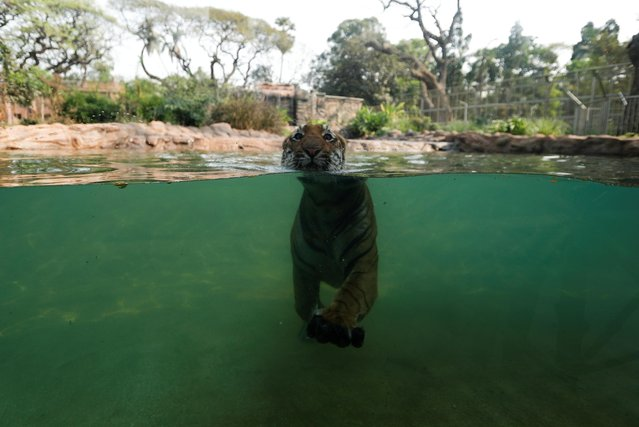 A tiger swims inside an enclosure at a zoo, after it reopened for the first time after the coronavirus disease (COVID-19) outbreak, in Mumbai, India, February, 15, 2021. (Photo by Francis Mascarenhas/Reuters)
