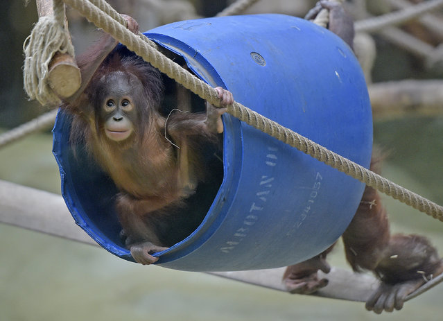 Orangutan baby Cinta plays in a barrel on Friday, January 23, 2015 at the zoo in Cologne, Germany. (Photo by Martin Meissner/AP Photo)