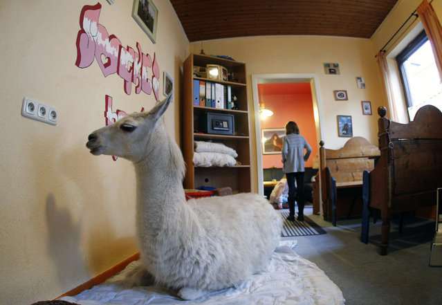 """A three-year old llama """"Socke"""" lies in a dining room in the western German town of Muelheim January 14, 2009. """"Socke"""" has lived in the house of her owner Nicole Doepper since its birth, when it was injured by other animals and had a leg amputated. (Photo by Ina Fassbender/Reuters)"""