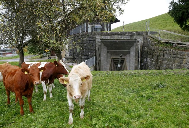 Cows stand in a meadow in front of a 10.5cm gun at the former artillery fort of the Swiss Army in the town of Faulensee, Switzerland October 19, 2015. Artillery fort Faulensee was in military use from 1943 to 1993 and is now open to the public as a museum. With the threat of foreign invasion a thing of the past, thousands of military bunkers and fortresses in Switzerland have been put to commercial use, from hotels to data centres, museums to cheese factories. (Photo by Arnd Wiegmann/Reuters)