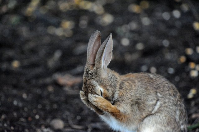 A rabbit just cannot deal anymore. (Photo by Dan Friend/Barcroft Images/Comedy Wildlife Photography Awards)