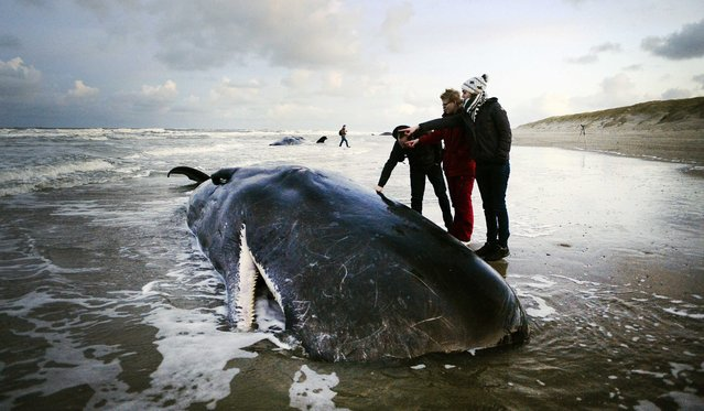 People near a  sperm-whale on the island of Texel, The Netherlands, 13 January 2016. Five sperm-whales were beached on the island. The animals have all died. (Photo by Remko De Waal/EPA)