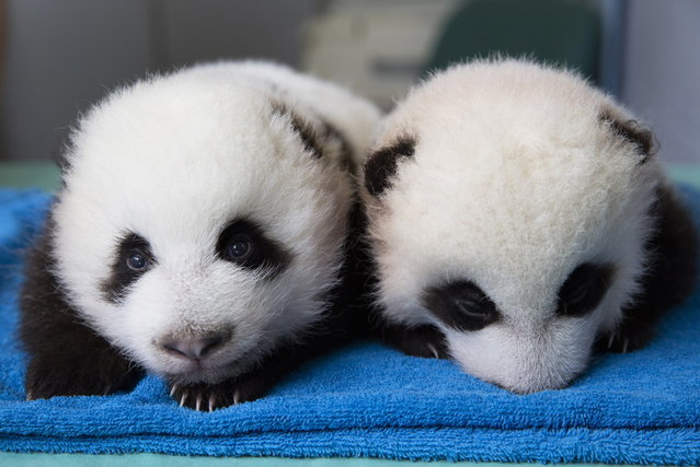 Two male giant panda cubs are shown in this handout provided by The Atlanta Zoo in Atlanta, Georgia, October 3, 2013. The Zoo is giving members of the public a chance to vote on a pair of names for the baby giant pandas born there in July. Five sets of names were released on Thursday for voters to choose from for the male cubs. (Photo by Adam K.Thompson/Reuters/Atlanta Zoo)