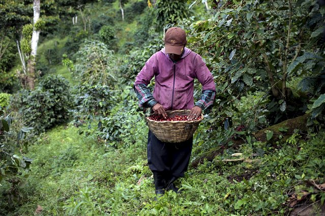 A man of the Nicaraguan ethnic tribe Sumos picks coffee berries at the Nogales farm in Jinotega, Nicaragua January 7, 2016. (Photo by Oswaldo Rivas/Reuters)