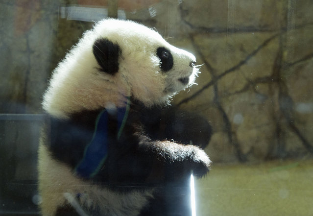 Giant panda cub Bei Bei, seen through glass, tries to get out of his box as he awakes  at the National Zoo in Washington, Saturday, January 16, 2016. The cub, born Aug. 22, made his public debut Saturday, though zoo members have been able to see him since January 8. (Photo by Jose Luis Magana/AP Photo)