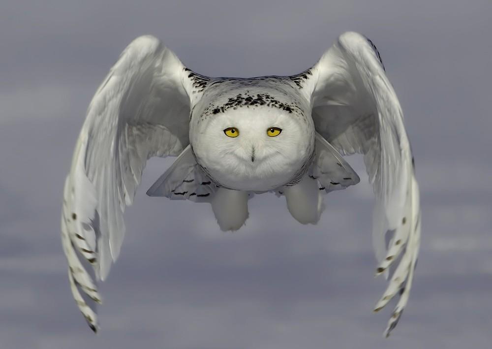 Simply Some Photos: Snowy Owl