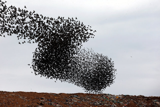 A murmuration of migrating starlings fly above a waste facility near the city of Rahat, southern Israel December 30, 2018. (Photo by Ronen Zvulun/Reuters)