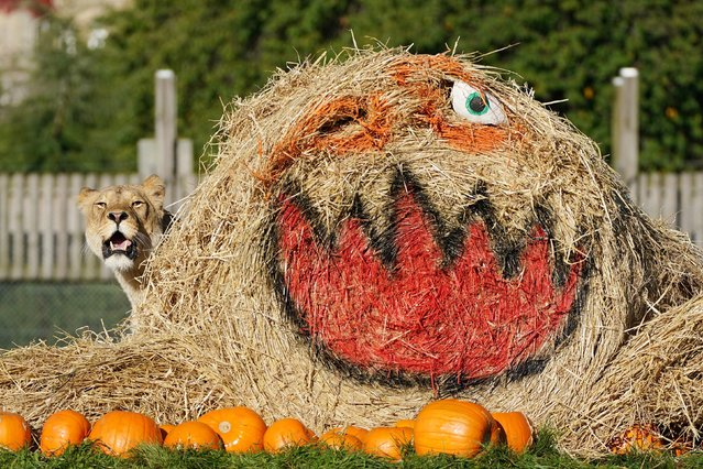 Lions interact with a giant hay bale and pumpkins filled with enrichments at Blair Drummond Safari Park, near Stirling, Scotland on Wednesday, October 6, 2021, during final preparations for their Halloween event which starts this weekend. (Photo by Andrew Milligan/PA Images via Getty Images)
