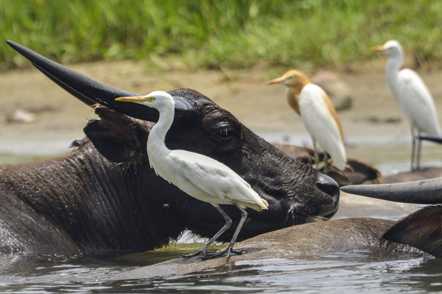 Egrets perch on water buffaloes at Manggamat river, Southern Aceh province on April 16, 2019. (Photo by Chaideer Mahyuddin/AFP Photo)
